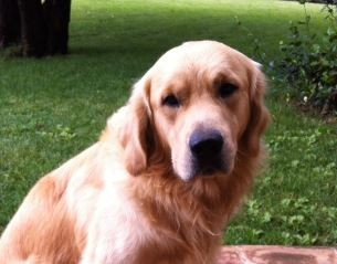 cane scomparso morto polpette avvelenate corciano-centro cronaca ellera-chiugiana