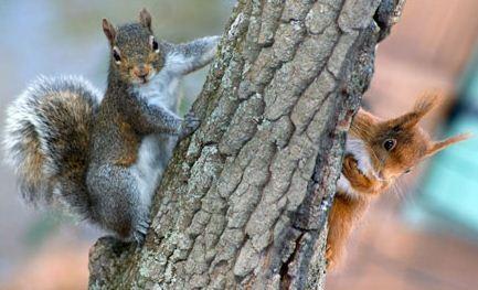 Grigio contro rosso, di scoiattoli ne rimarrà uno solo: Bruxelles pronta a decimare l'intruso