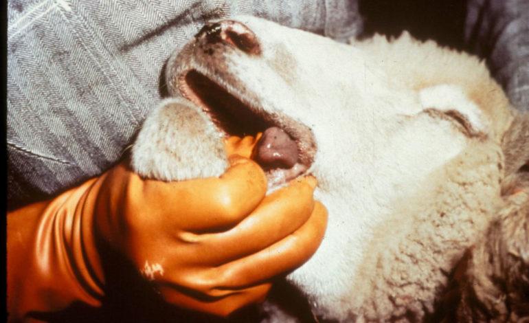 Bluetongue ovini corciano-centro glocal