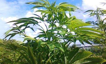 Scoperte a Corciano dalla Polizia Provinciale tre piante di Cannabis, denunciati due giovani
