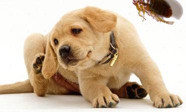 Il cane, il gatto e le pulci: non abbassare mai la guardia!