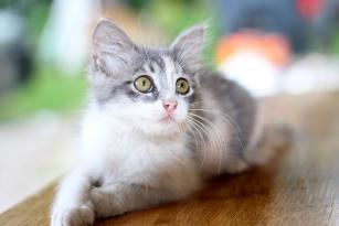 La cistite nel gatto: prevenirla, capirne i sintomi ed intervenire