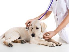 cagnolina cane ovarioisterectomia sterilizzazione veterinario 4zampe