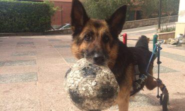 La commovente storia di Laika il pastore tedesco che ha ritrovato la vita grazie ad un carrellino