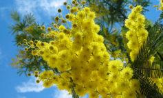 La Passeggiata delle Mimose e le altre iniziative a Corciano per la Festa della Donna