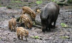 Mamma cinghiale attraversa la strada con 10 cuccioli, succede sul colle della Trinità