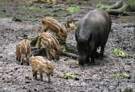 animali selvatici atuomobilisti bosco cinghiale colle della trinità cuccioli parco rischi corciano-centro cronaca ellera-chiugiana