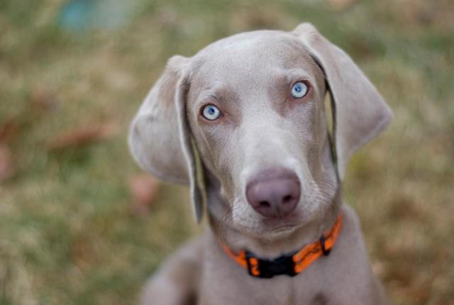"""""""Dognapping"""" in Italia: aumentano i rapimenti di cani, bersaglio preferito gli animali di razza."""