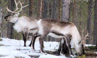 Natale: a Corciano arrivano le renne di Santa Claus, quelle vere