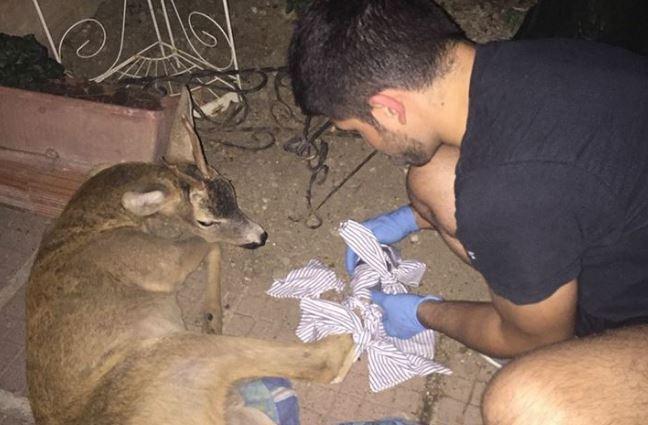 animali animali selvatici incidente sicurezza strade veterinario corciano-centro cronaca ellera-chiugiana