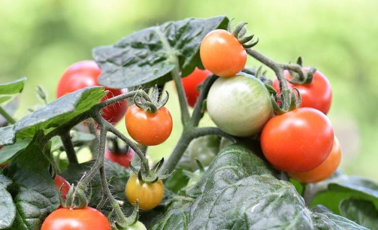 agricoltura mensa progetto mense scuola cronaca mantignana politica