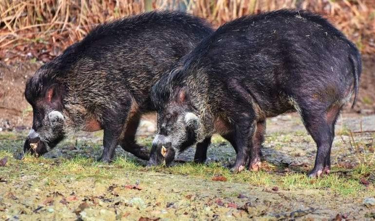agricoltura caccia calendario venatorio cinghiale glocal
