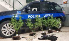 Baby-coltivatore di marijuana scoperto dalla Polizia Locale: le piante erano vicine al cimitero
