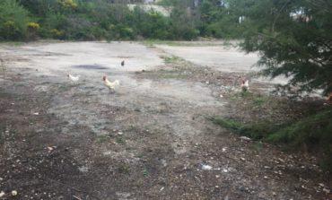 Galli, pulcini e galline allo stato brado tra i palazzi di San Mariano