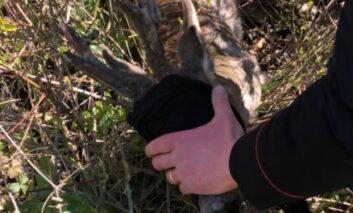 Capriolo investito, i carabinieri di Corciano soccorrono e affidano l'animale all'ospedale veterinario